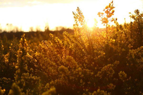 summer landes ajonc nature